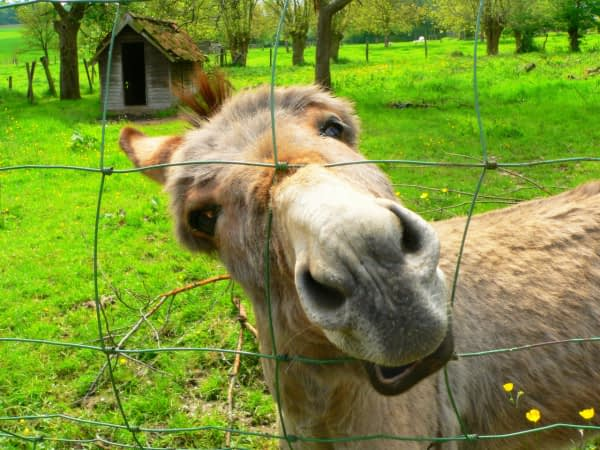 Een echte ezel